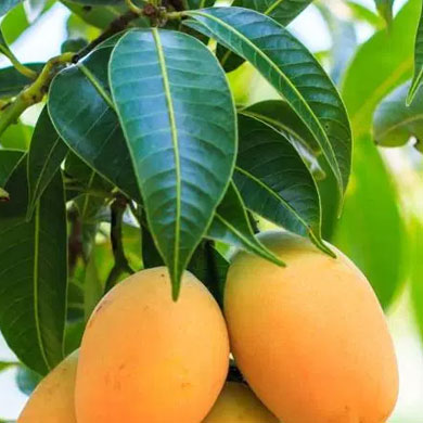 photo of mangos